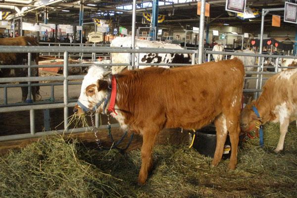 Farmshow_cows