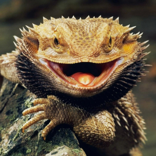 Bearded_dragon_pic