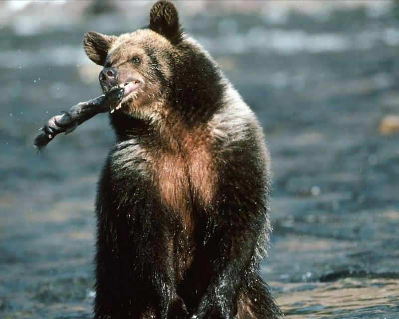 Grizzly-Bear-Trout-Fishing
