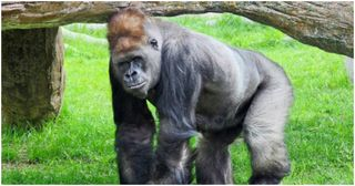Gorilla-Shot-and-Killed-After-3-Year-Old-Boy-Falls-Into-Enclosure-in-Cincinnati-Zoo