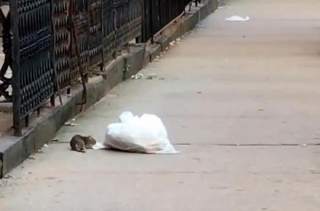 Rat-drags-full-garbage-bag-across-New-York-street (002)