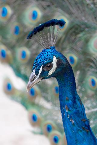 Peacock_02