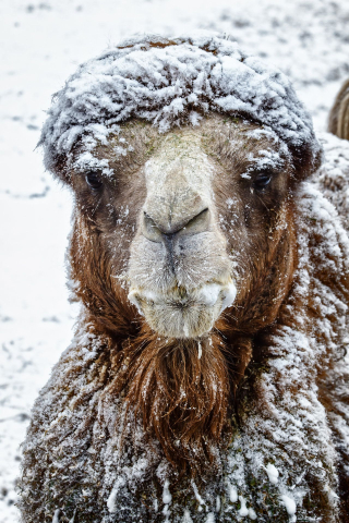 Camel in snow