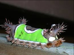 Poison caterpillar